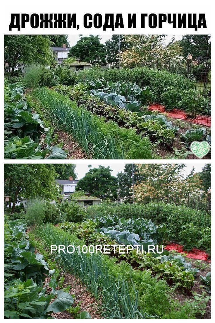 Дрожжи и сода для огорода